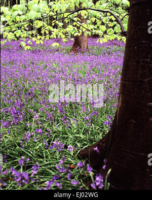 Bluebells and fresh beech leaves - Stock Photo
