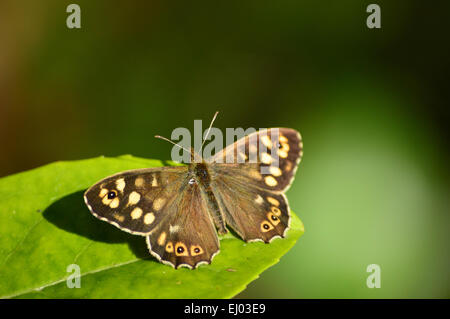 Speckled Wood Butterfly – Pararge aegeria - Stock Photo