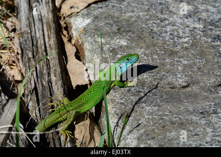 European Green Lizard, Lacerta viridis, Lacertidae, Lizrard, reptile, animal, Castello de Serravalle, Semione, Bleniotal, - Stock Photo
