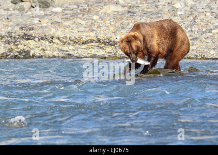 Grizzly bear fishing salmon at Dayville Road, Valdez, Alaska, United States of America. - Stock Photo