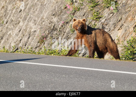 Grizzly bear sow at Dayville Road, Valdez, Alaska, United States of America. - Stock Photo