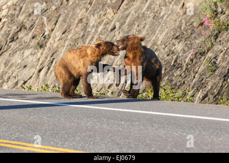 Grizzly bear cubs playing at Dayville Road, Valdez, Alaska, United States of America. - Stock Photo