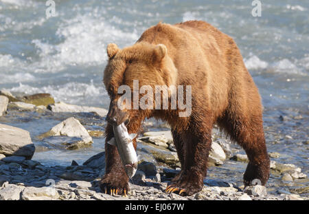 Grizzly bear with salmon at Dayville Road, Valdez, Alaska, United States of America. - Stock Photo