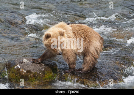 A young brown bear looking for salmon at Brooks River, Katmai National Park, Alaska, United States of America. - Stock Photo