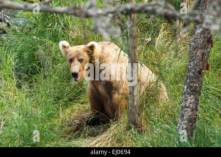 A brown bear near the Brooks River shoreline in Katmai National Park, Alaska, United States of America. - Stock Photo