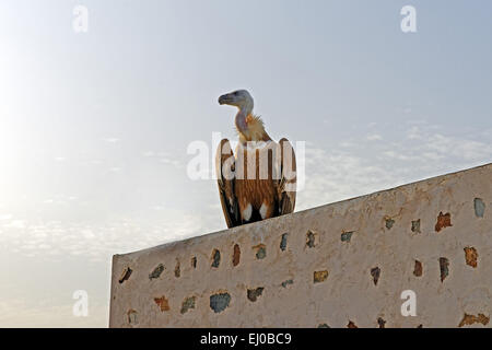 Middle East, Near East, United Arab Emirates, UAE, Sharjah, Khor Kalba, Al Ghayl fort, Griffon vulture, Gyps fulvus, - Stock Photo