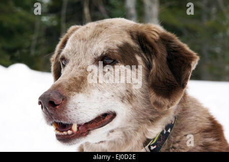 Portrait of big dog outsite in the snow, Australian shepherd and labrador mix - Stock Photo