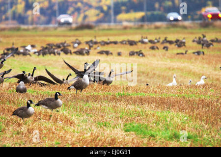 Canadian and Snow geese landing in a field close to the road - Stock Photo