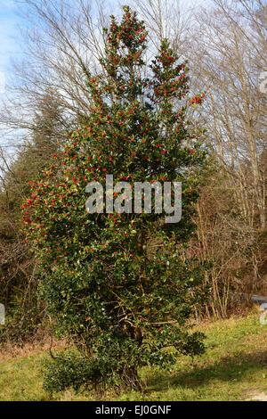 Holly, Ilex aquifolium, Aquifoliaceae, plant, shrub, berries, red. Les Rangiers, Canton Jura, Switzerland - Stock Photo