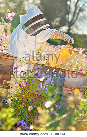 Beekeeper checking honey on beehive frame in field full of flowers - Stock Photo