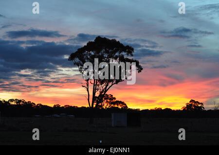 Silhouette of eucalyptus tree against bright coloured sunset in rural Australia. - Stock Photo