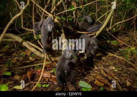 Juvenile group of Sulawesi black-crested macaque or yaki (Macaca nigra) in Tangkoko Nature Reserve. - Stock Photo