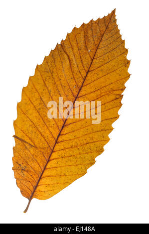 Sweet chestnut / Spanish chestnut (Castanea sativa) leaf in autumn colours against white background - Stock Photo