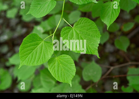 Large-leaved linden / large-leaved lime (Tilia platyphyllos) close up of leaves - Stock Photo