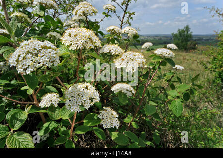 Wayfarer / wayfaring tree (Viburnum lantana) in flower - Stock Photo