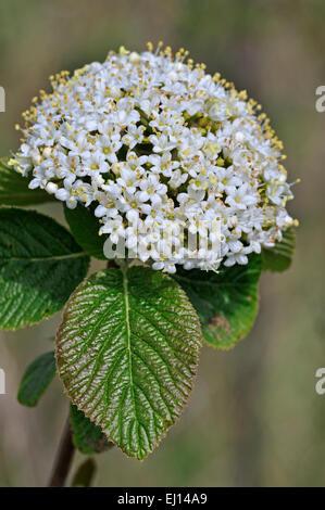Wayfarer / wayfaring tree (Viburnum lantana) in flower - Stock Photo