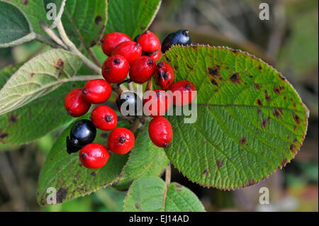 Wayfarer / wayfaring tree (Viburnum lantana) close up of red and black ripe drupes - Stock Photo