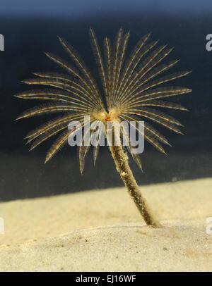 Peacock Worm - Sabella pavonina - Stock Photo