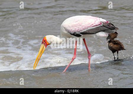 A Yellow-billed Stork, Mycteria ibis, fishing in a african river near a Hamerkop bird, Scopus umbretta, in Tanzania - Stock Photo