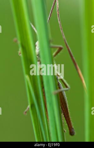 Meadow Grasshopper (Chorthippus d Europa parallelus) on gras germany europe - Stock Photo