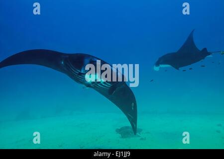 Black Manta Rays (Manta birostris) checking out the divers at Sandy Manta cleaning station in Raja Ampat, Indonesia. - Stock Photo