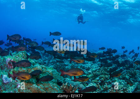 Scuba diver observes school of Midnight Snappers (Macolor macularis); Spratly Islands, South China Sea. - Stock Photo