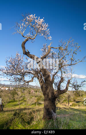 Close view of a almond tree blossom flowers in nature. - Stock Photo