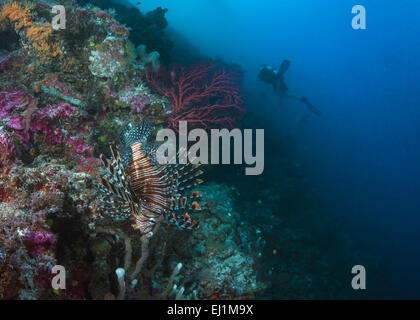 Flamboyant lionfish camouflaged among coral reef inhabitants avoids detection by a group of scuba divers exploring - Stock Photo