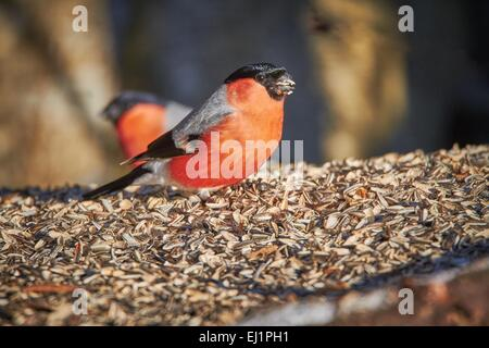 Bullfinch male (Pyrrhula pyrrhula) eating sunflower seed on the ground at the winter feeding place on a sunny spring - Stock Photo