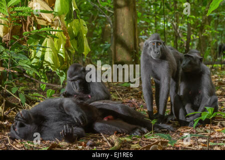 Small group of Sulawesi black-crested macaque or yaki (Macaca nigra) in Tangkoko Duasudara Nature Reserve. - Stock Photo