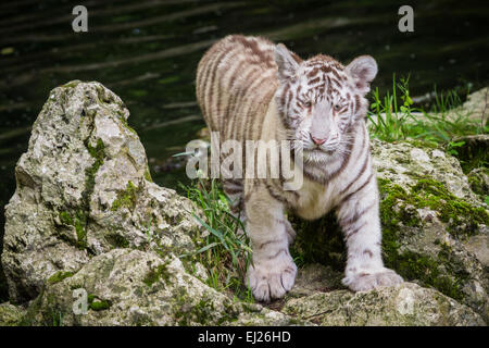 The white tiger (Chinchilla albinistic) is a pigmentation variant of the Bengal tiger (Panthera tigris tigris). - Stock Photo