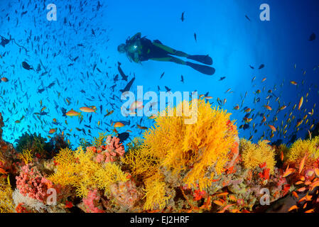 Acabaria sp., Coral reef with Yellow fan coral and scuba diver, Muthafushi Thila, Baa Atoll, Maldives, Indian Ocean - Stock Photo