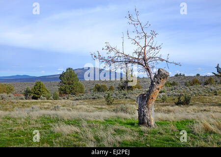 A 150 year old apple tree growing wild in the Grasslands National Recreation area in central Oregon. The apple tree - Stock Photo