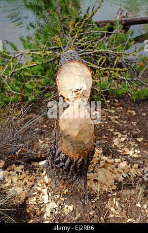A fir tree on the edge of the Deschutes River in central Oregon that has been gnawed down by beavers. - Stock Photo