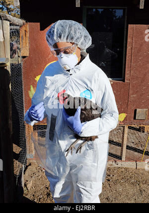 Dressed in a biohazard suit, a veterinarian from the United Sates Department of Agriculture takes a sample of chicken - Stock Photo