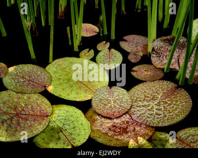 Water lily leaves in pond. Oregon - Stock Photo