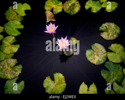 Blooms of water lilies circled by leaves. Oregon - Stock Photo