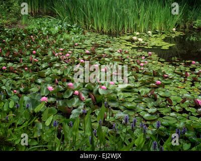 Large group of water lilies. Oregon. - Stock Photo
