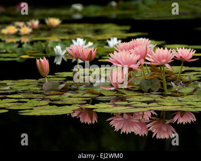 Water lilies in bloom in pond.with reflection. Oregon - Stock Photo