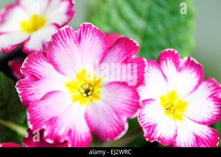 Early Spring flower much loved primrose Jane Ann Butler Photography JABP699 - Stock Photo