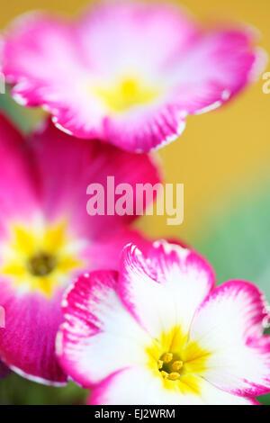 Early Spring flower much loved primrose Jane Ann Butler Photography JABP700 - Stock Photo
