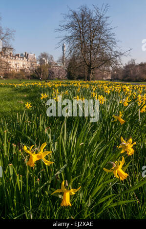 London, UK, 20 March 2015.  The daffodils are in bloom, as afternoon sunshine in Regent's Park heralds the start - Stock Photo