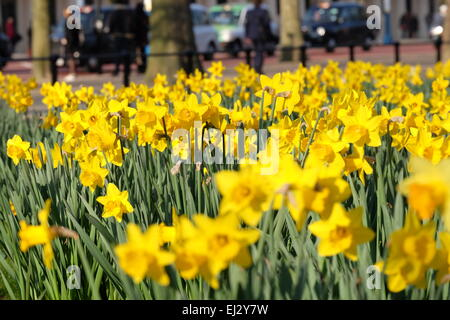 London, UK. 20th March, 2015. Afternoon sunshine on Daffodils in London Credit:  Rachel Megawhat/Alamy Live News - Stock Photo