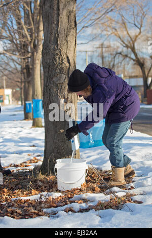 Detroit, Michigan - Billie Hickey collects sap from sugar maple trees in the Brightmoor section of Detroit. - Stock Photo