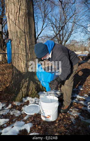 Detroit, Michigan - Bill Hickey collects sap from sugar maple trees in the Brightmoor section of Detroit. - Stock Photo