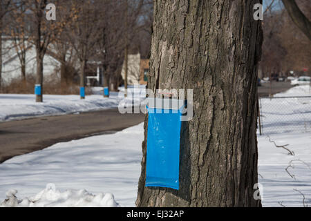 Detroit, Michigan - Sugar maple trees are tapped to collect sap for maple syrup in the Brightmoor section of Detroit. - Stock Photo