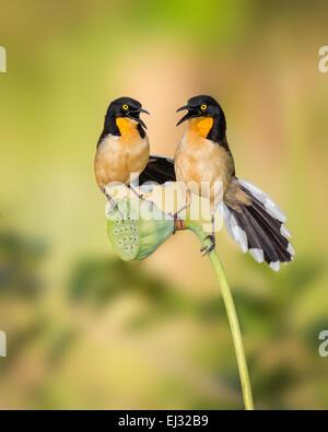 Black-capped Donacobius (Donacobius atricapilla) pair, singing on lotus seedcup, Botanical Gardens, Georgetown, - Stock Photo