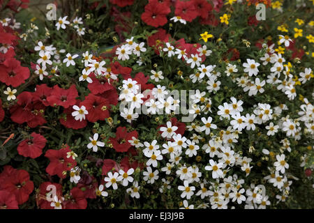 Bidens ferulifolia 'Pirate's Pearl' with red Petunias in summer display - Stock Photo