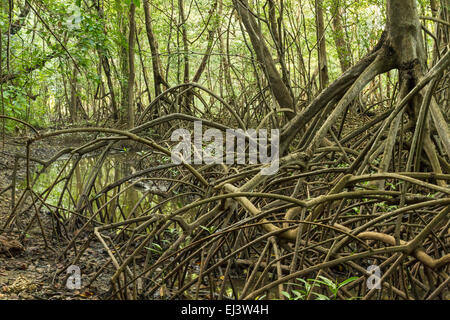 Limbs and roots of mangrove trees in Reserva Biological Nosara look alive in Nosara, Costa Rica - Stock Photo