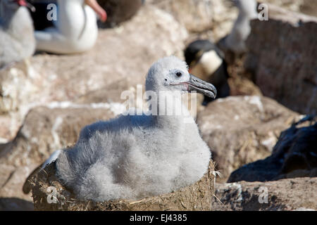 Black browed Albatross chick on nest West Point Island Falkland Islands - Stock Photo